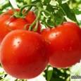 rannie-pomidory-iz-pridnestrovja-600x363